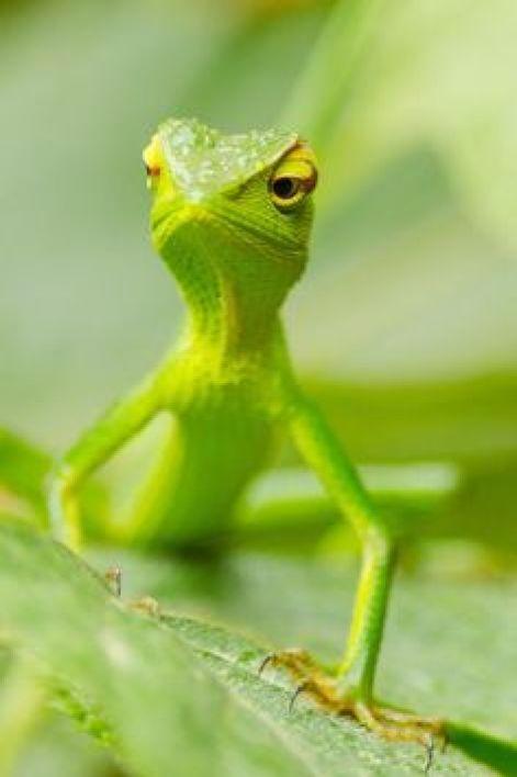 Image result for green iguanas stealing food on isla iguana panama