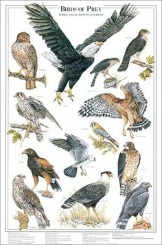 Poster do filme Aves de Rapina