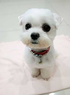 Teacup Maltese Puppies For Sale Puppies For Sale