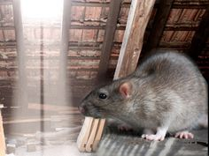 How To Get Rid Of Roof Rats The Best 2017