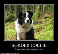 1000 Images About Border Collies On Pinterest Border