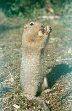 Townsend S Ground Squirrel Spermophilus Townsendii