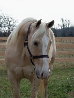 1000 images about Spotted saddle horse on Pinterest