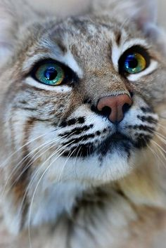 Big Cat Little Wilds on Pinterest | Serval, Lynx and Caracal