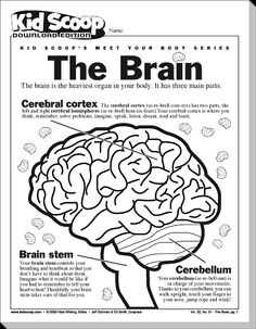 Image Result For Worksheets On Lobes Of The Brain
