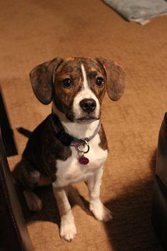 Boston Spaniels And Beagles On Pinterest Boston Boston