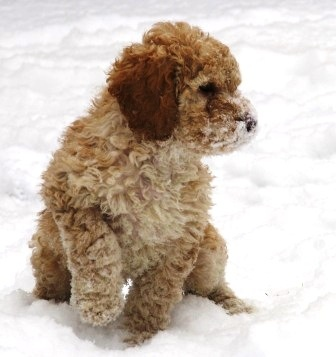 snow #labradoodle #dogs #cute