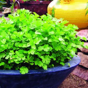 Grow Cilantro continuously for a while.