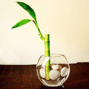lucky bamboo shoot plant in a vase, lucky bamboo, lucky, bamboo, green lucky…