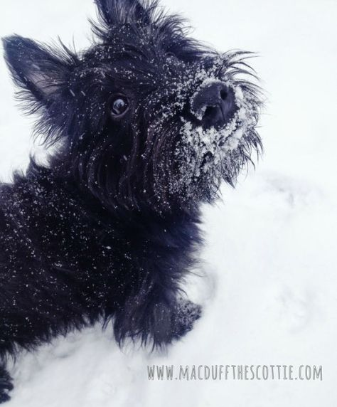 MacDuff Loves the Snow