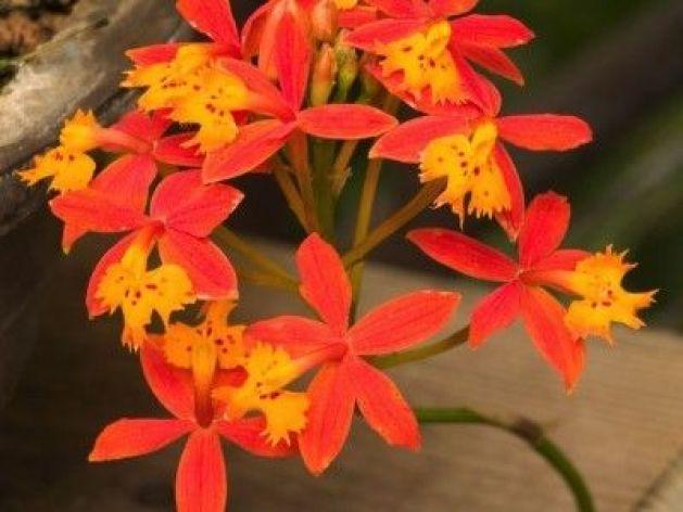 Epidendrum, un orchidea robusta ed elegante