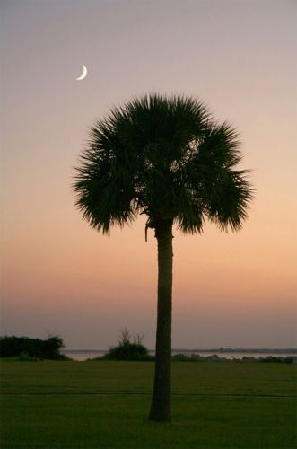 Palmetto Moon - Charleston South Carolina SC. The Palmetto tree is the most recognized and beloved symbol of our state.: