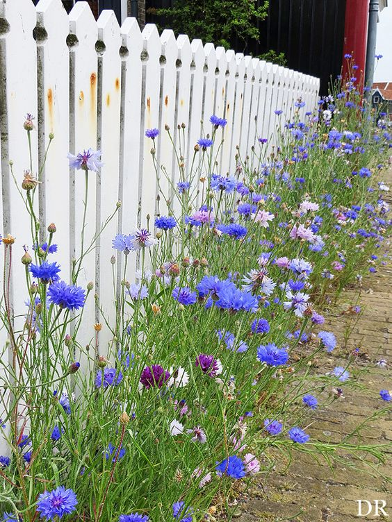 Cornflowers, often considered a weed apparently, are quickly gaining popularity as an attractive and beneficial flower. They are edible, and they attract beneficial insects such as small wasps.: