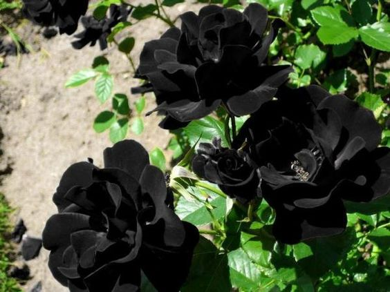 Como plantar flores negras - 5 passos - umComo: