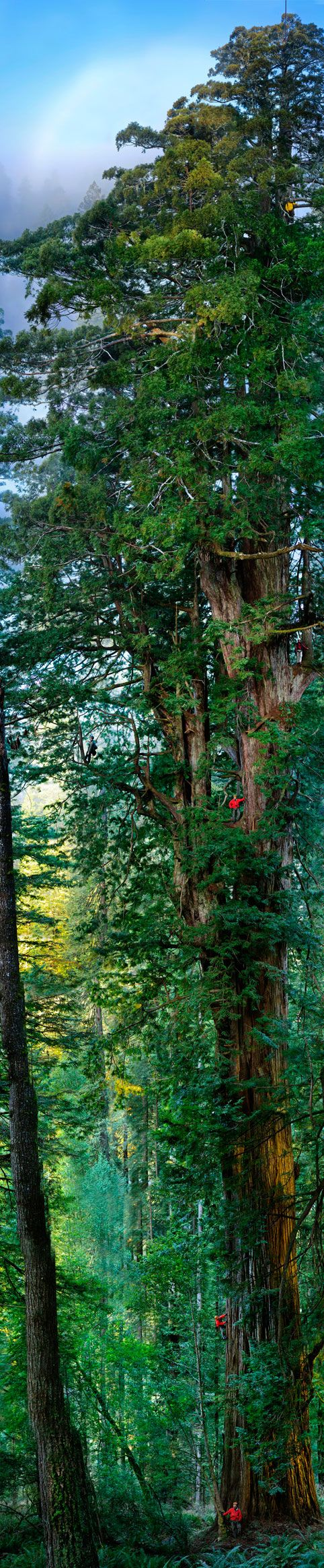 ✯ Giant Sequoia: