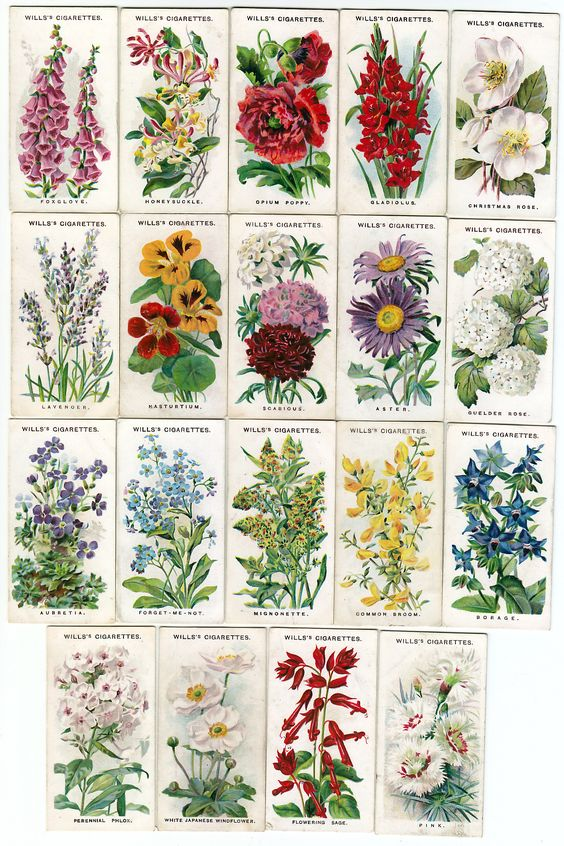 Names and pictures of traditional English Cottage Garden flowers: