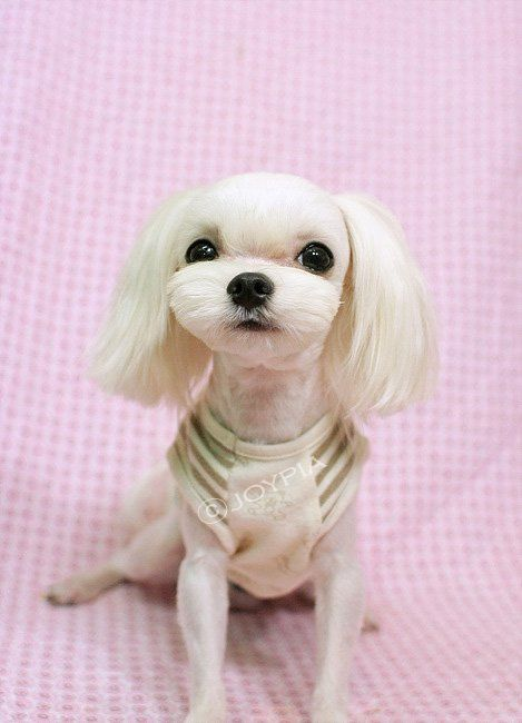 Dog Grooming Styles Style And Maltese Dogs On Pinterest