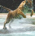 Image result for white tiger jumping at you