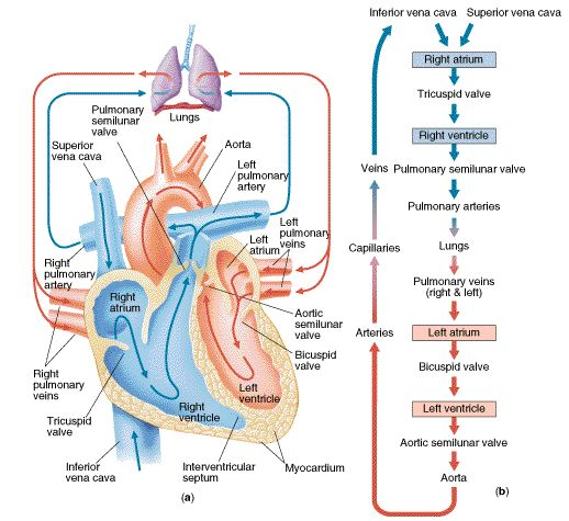 Blood flow of heart   blood flow physiology path of blood flow diastole systole Trace a drop of blood through the heart. After 21 years, I can still do it!: