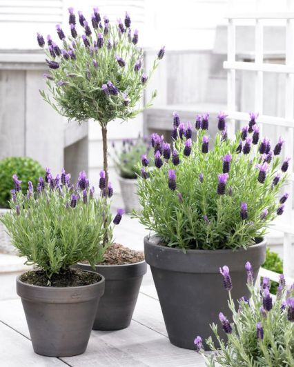French Lavender Anouk is a drought-tolerant variety that produces lovely, light and dark purple blooms. It emits the wonderful lavender scent and is perfect for full-sun container gardening.: