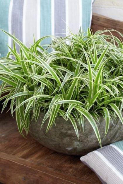 Il nastrino, nome comune del Chlorophytum, è una pianta perenne e sempreverde molto decorativa