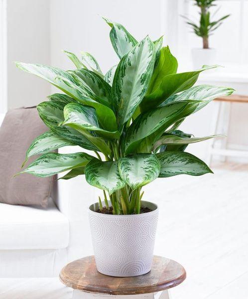 L'Aglaonema è una pianta che necessita di un'irrigazione costante e piuttosto abbondante durante la stagione più calda