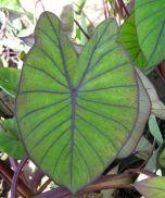Image result for badjang leaves