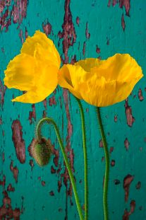 Yellow Poppies, Weathered Turquoise Wall