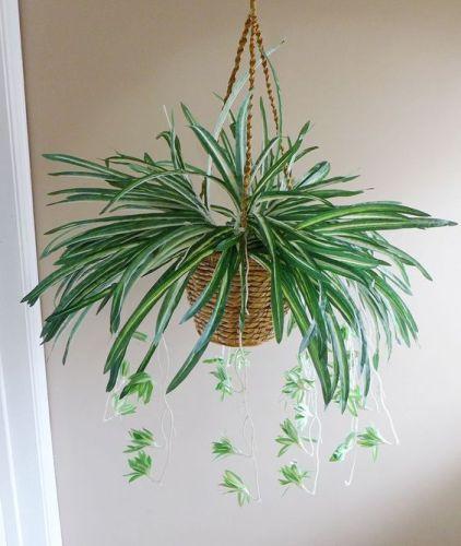 I nastrini sono magnifiche piante d'appartamento di origine tropicale e subtropicale che producono ciuffi di foglie ricadenti molto decorativi