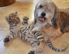 Image result for tiger cub with dog