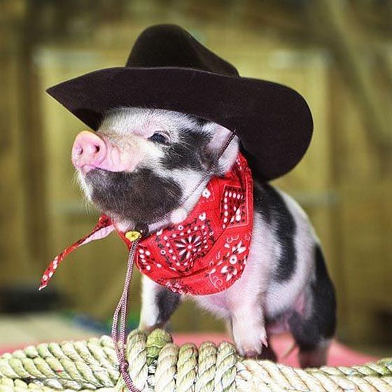 Illegal Exotic Pets - Mini Pigs