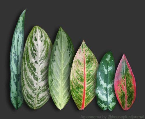 Le Aglaonema producono inflorescenze a spadice, molto simili a quelle delle Calle che, infatti, appartengono alla stessa famiglia