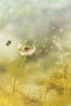 Dandelion summery