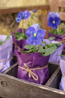 Pretty pansies...wrapped in colorful tissue - lovely party favors or centerpieces: