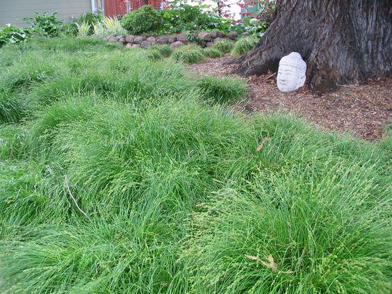 Carex tumulicola under redwoods.