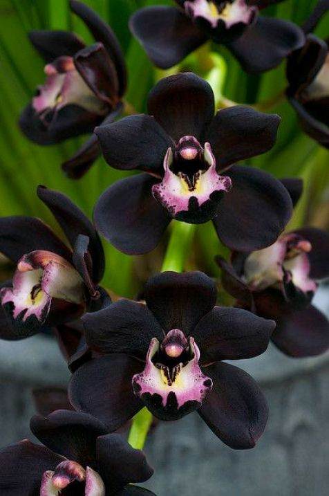 orchid: