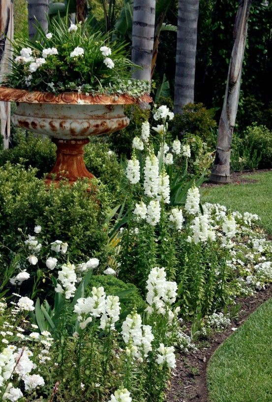 White Garden The snapdragons and white violas are at their peak and I just added white cosmos and alyssum to take over where they will leave off in a couple months. The azaleas and camellias are almost done, the roses, iris and geraniums are starting to bloom and the agapanthus will start their show next month: