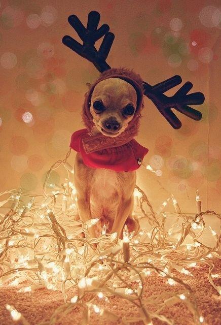 Chihuahuas Reindeer And Navidad On Pinterest