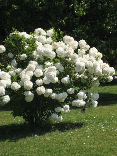 Il Viburnum, in gergo chiamato anche palla di neve, è un genere di arbusti a bassa manutenzione