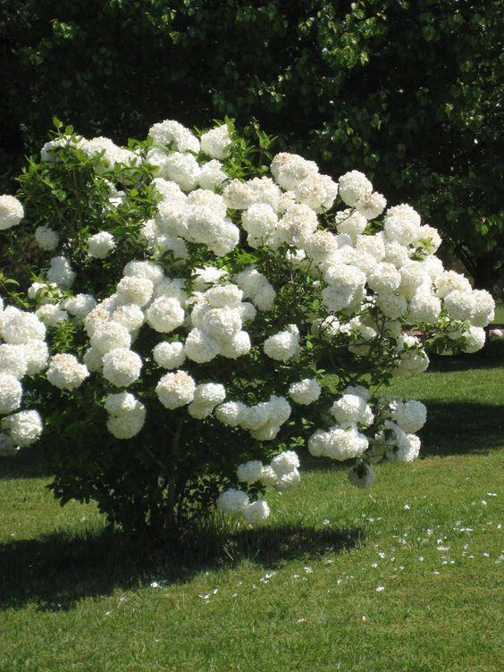 12 arbusti ideali per la coltivazione in ombra guida - Fiori da giardino al sole ...