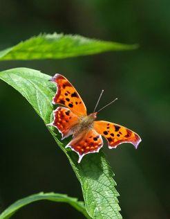 Questionmark butterfly