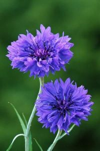 Centaurea cyanus Blue Boy - Cornflower;sow early spring or winter sow;full sun;plant spacing 12in;deadhead;height 36in ...also look for 'black ball' or white variety: