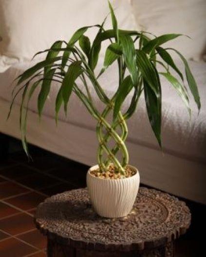 """La Dracaena sanderiana, detta anche """"Lucky bamboo"""", è una pianta da interni molto popolare e apprezzata"""