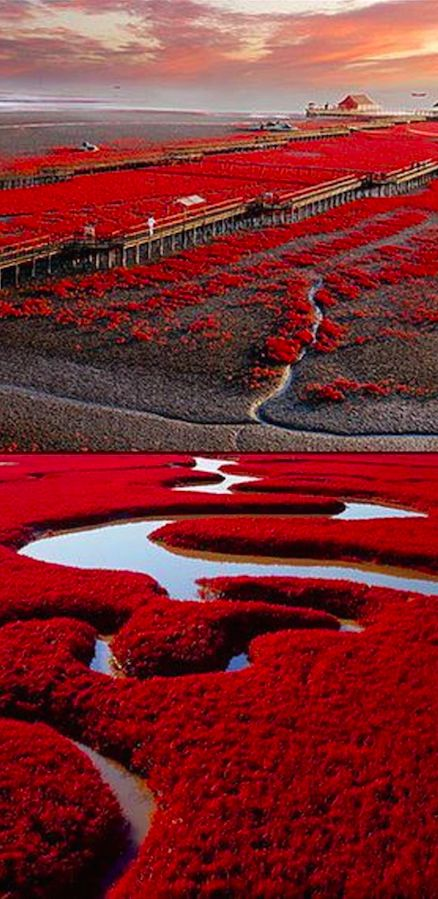 Red beach in Panjin, China on the marshlands of the Liaohe River delta: