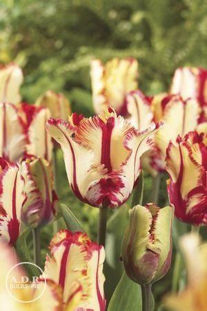 Tulipa parrot 'Flaming Parrot' Tulip: