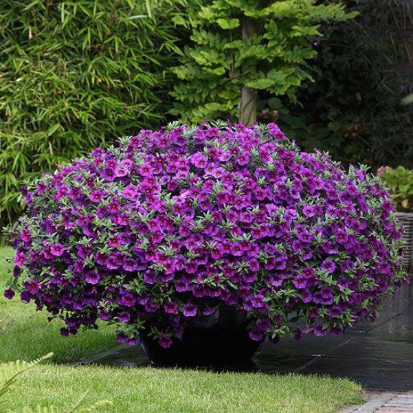 Calibrachoa viola