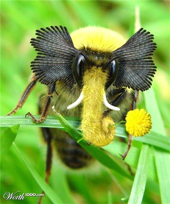 Elephant Bee ~ Click on through the large version to see a ...