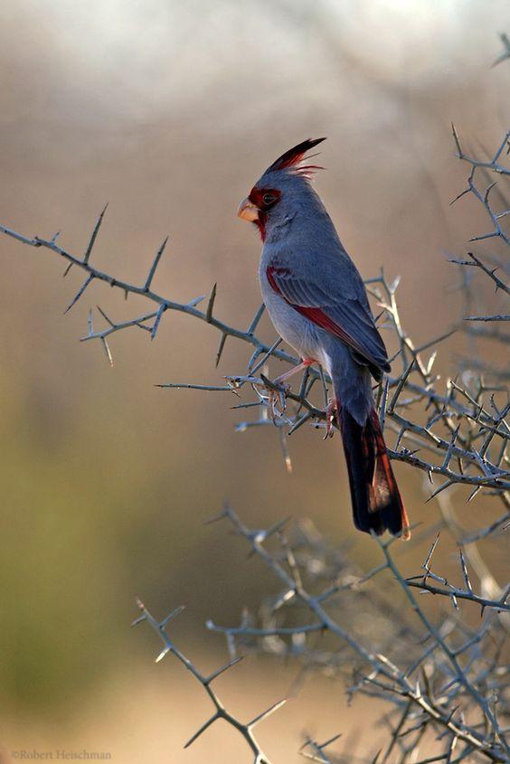 Cardinals Deserts And Northern Cardinal On Pinterest