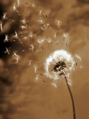 Dandelion Seed Blowing Away Photographic Print: