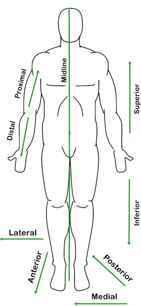 human figure diagram in anatomic position with labeled